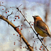 Cedar Waxwing And Berries Art Print