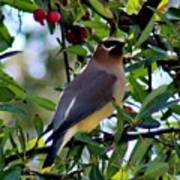 Cedar Waxwing In Tree 030515a Art Print