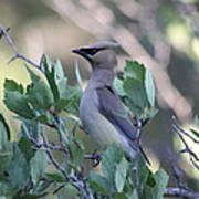 Cedar Waxwing On The Malheur National Forest Art Print