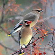 Cedar Waxwings Art Print