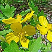 Celandine Poppy Or Wood Poppy - Stylophorum Diphyllum Art Print