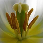 Center Of The Tulip Art Print
