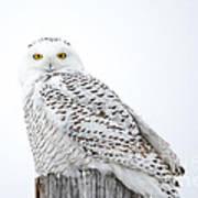 Centered Snowy Owl Art Print