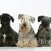 Cesky Terrier Dogs Art Print