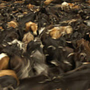 Chagras Round-up Cattle Ecuador Art Print