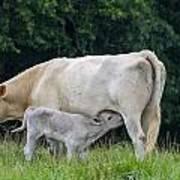 Charolais Cow Nursing Calf Art Print