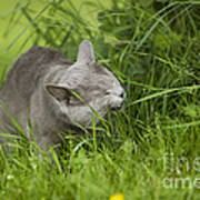 Chartreux Cat And Grass Art Print