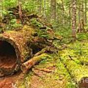 Cheakamus Old Growth Cedar Stumps Art Print