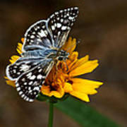 Checkered Skipper Square Art Print