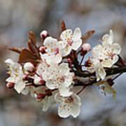 Cheerful Cherry Blossoms Art Print