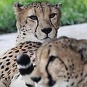 Cheetah Awakening Art Print
