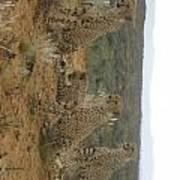 Cheetah Chatter Art Print