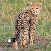 Cheetah Cub Looking Your Way Art Print