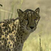 Cheetah Gaze Art Print