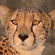 Cheetah Gaze At Sunset Art Print