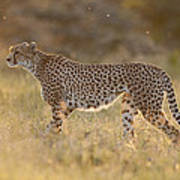 Cheetah In Grassland Kenya Art Print
