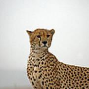 Cheetah In Serengeti. Art Print