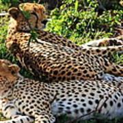Cheetah - Masai Mara - Kenya Art Print