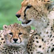Cheetah Mother And Cub Art Print
