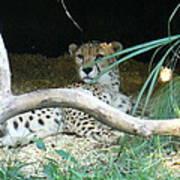 Cheetah Resting  Art Print