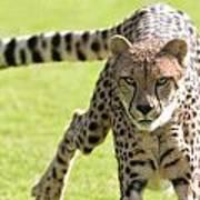 cheetah Running Portrait Art Print