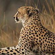 Cheetah South Africa Art Print