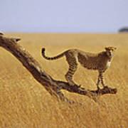 Cheetah Standing On Dead Tree Art Print