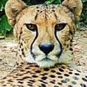 Cheetah Stare L Art Print