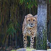 Cheetah Watching Art Print