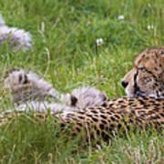 Cheetah With Cubs Art Print
