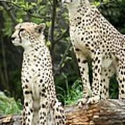 Cheetah's 02 Art Print