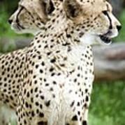 Cheetah's 04 Art Print