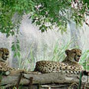 Cheetahs-120 Art Print