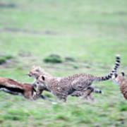 Cheetahs Acinonyx Jubatus Chasing Art Print