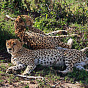 Cheetahs Of The Masai Mara Art Print
