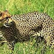 Cheetahs Running Art Print