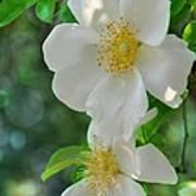 Cherokee Roses Art Print
