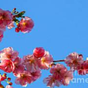 Cherry Blossom Against Blue Sky Art Print