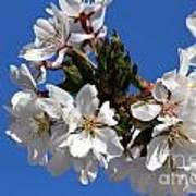 Cherry Blossom Blue Sky - 1 Art Print