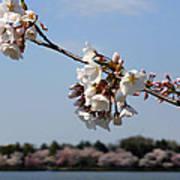 Cherry Blossom Dc Art Print
