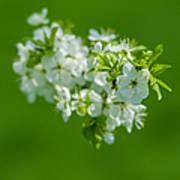 Cherry Blossom Featured 3 Art Print