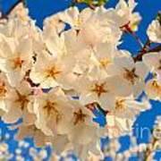 Cherry Blossom Macro Art Print