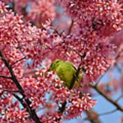 Cherry Blossom Time Art Print