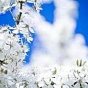 Cherry Blossom With Blue Sky Art Print