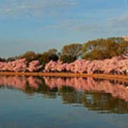 Cherry Blossoms 2013 - 001 Art Print