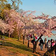 Cherry Blossoms 2013 - 007 Art Print