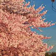 Cherry Blossoms 2013 - 013 Art Print