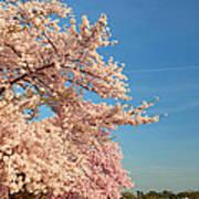 Cherry Blossoms 2013 - 014 Art Print