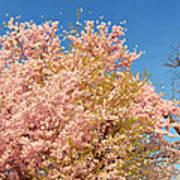 Cherry Blossoms 2013 - 016 Art Print