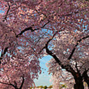 Cherry Blossoms 2013 - 024 Art Print